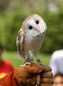 Barn Owl, Rings Bearer at Weddings